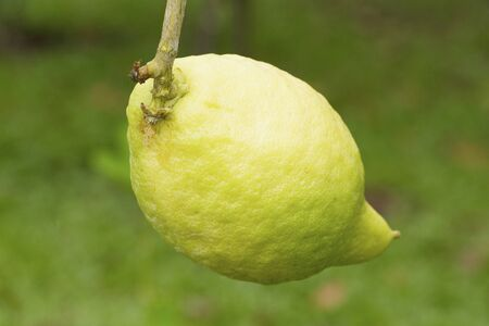 Green citrus medica on green background