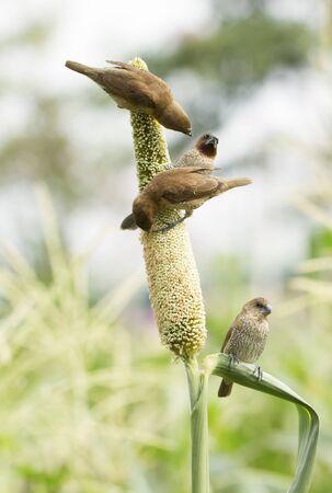 sorgo: Ricebird comer planta de sorgo Foto de archivo