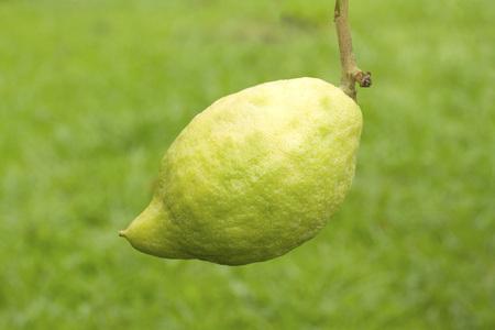 citrus aurantium: Green citrus medica on green background