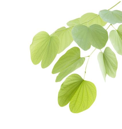 Green bauhinia leaf isolated on white background Stock Photo