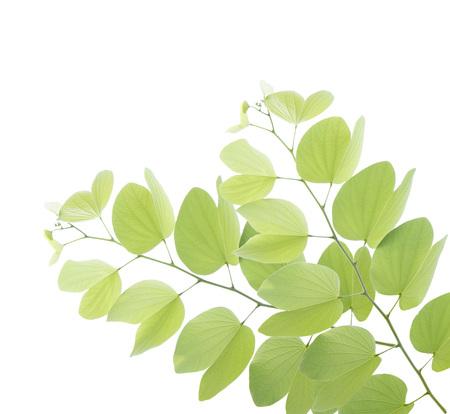 Young bauhinia leaf isolated on white background Stock Photo