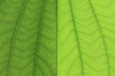 Green bauhinia leaf texture or background