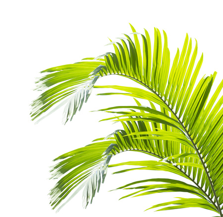 Green palm leaf isolated on white background Stockfoto