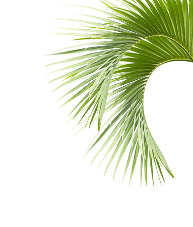 Liście palmowe na białym tle Zdjęcie Seryjne