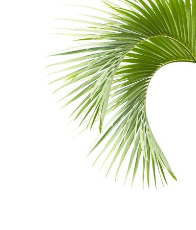 Palmbladen op witte achtergrond worden geïsoleerd die Stockfoto