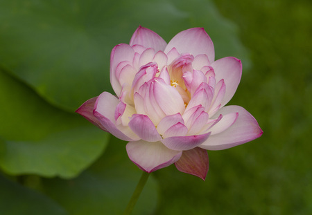Pink lotus with green leaves background Stock Photo
