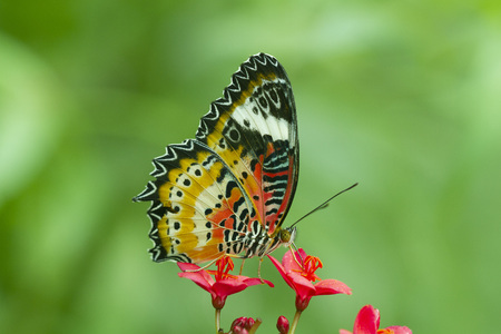 Leopard Lacewing Butterfly, Cethosia Cyanae, on red flower