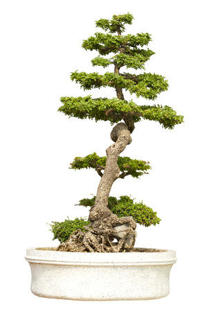 Bonsai tree in pot isolated on white background