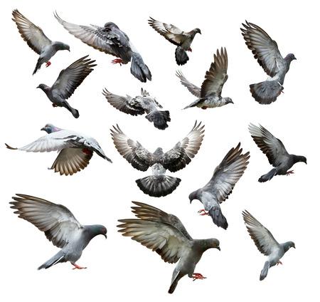 Set di piccioni che volano isolati su sfondo bianco Archivio Fotografico