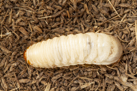 Grub worms, Coconut rhinoceros beetle (Oryctes rhinoceros), Larva on soil background