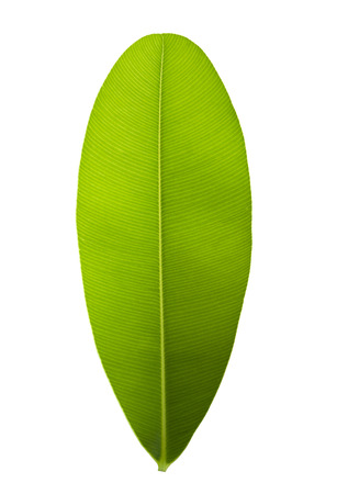 Green leaf with pinnately  parallel  venation pattern