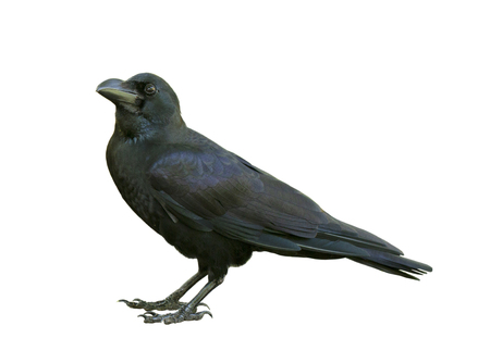Giovane corvo che sembra isolato su sfondo bianco Archivio Fotografico