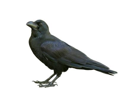 Jeune corbeau à isolé sur fond blanc Banque d'images