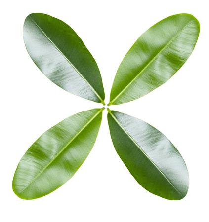 Green leaf arrangement isolated on white background Imagens