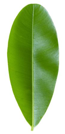 Groen blad met veervormig parallel nervenpatroon