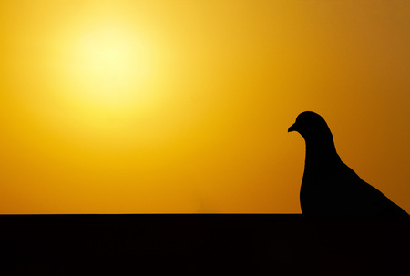 Silhouette of pigeon with orange sunset sky in background