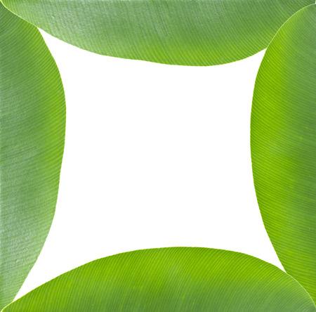 Green leaf frame from pinnately parallel venation leaf