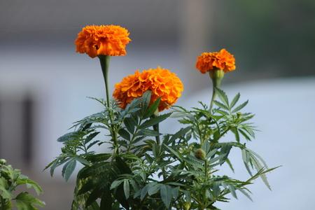 pleasent: Marigold