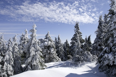 boughs: Snow-covered boughs of mountain top spruce.