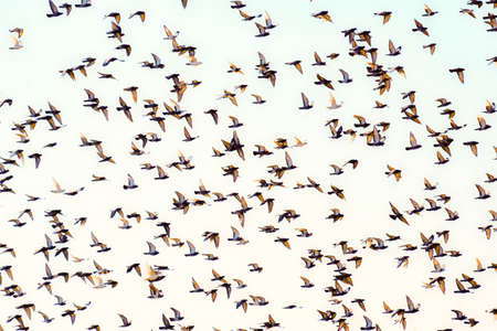 swarm: Swarm of flying pigeons Stock Photo