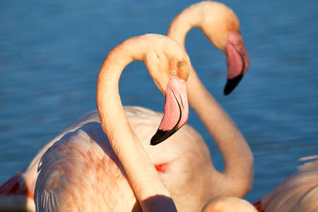 Two flamingos stand peacefully side by side in blue water. The position of her necks and heads is almost identical and at first sight It Seems as if one flamingo is reflected. The evening light under lines the harmonious mood of the photo.