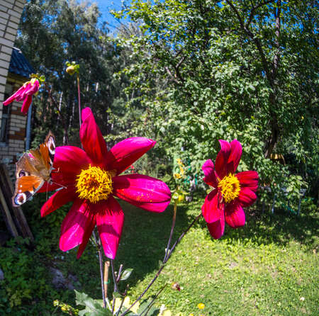 A European Peacock Butterfly perches on a red dahlia flower growing near private brick house in Moscow region Russia Stock Photo