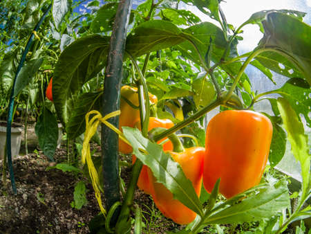 Closeup beautiful and fresh red sweet pepper on branch grown in a greenhouse in Moscow region Russia Stock Photo