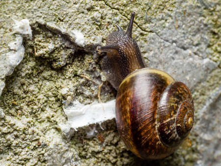 Grove brown-lipped land snail with blue gray body crawle on rough rugged concrete wall