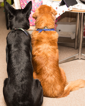 shepperd: Golden retriever and german shepperd waiting for food.