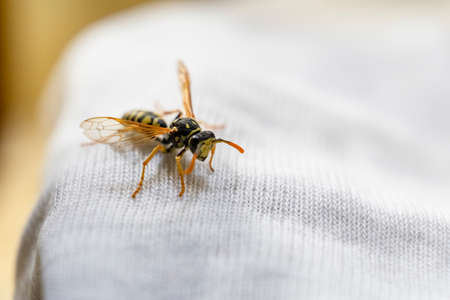 Wasp on child clothes. Danger of bites. Allergies and rashes. Child Anaphylaxis Risk