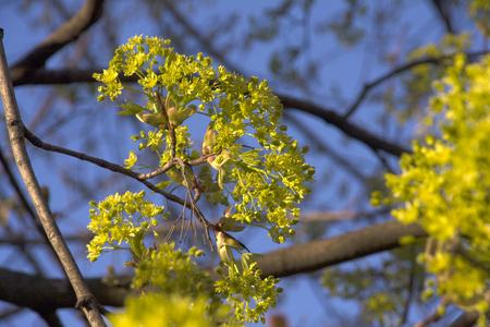 flowering maple photo