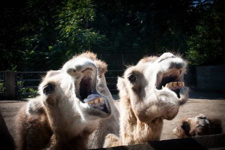 obscuring: Photo camel with open mouths that show the teeth, creating a soft background with shading along the edges of the image