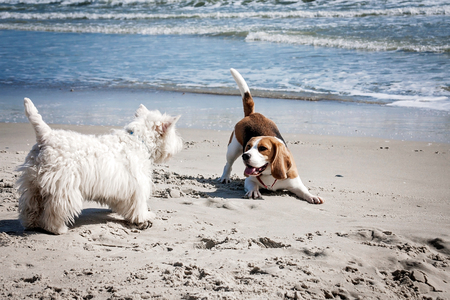 Dog beagle breeds having fun on the sand of the seashore. Archivio Fotografico