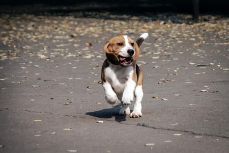 A young puppy of a beagle breed dog runs outside. Stok Fotoğraf