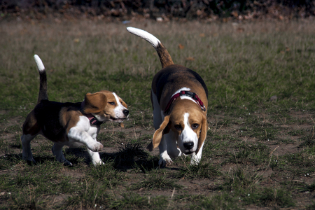 Beagle dog puppy playing