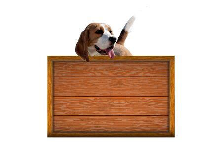 Dog breed beagle Фото со стока