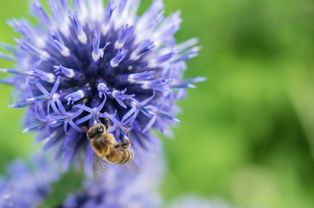 A close-up of a bee collects nectar on a meadow cornflower flower