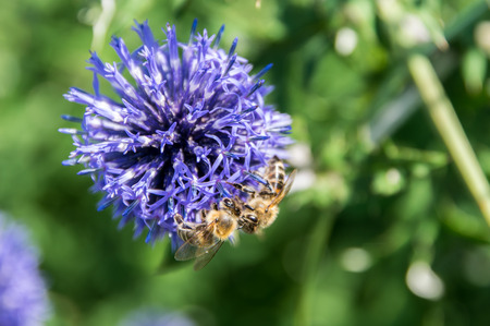 A macro shot of a bee collects nectar on a meadow cornflower flower useful for