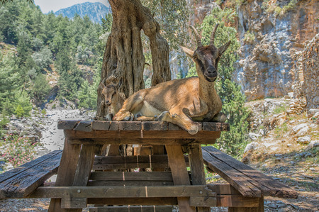 Wild goat called Kri-Kri and her baby sitting on a table in Samaria Gorge on Crete