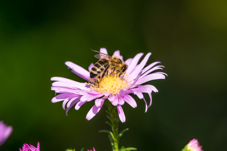 A close-up of a bee collects nectar on a European Michaelmas-daisy