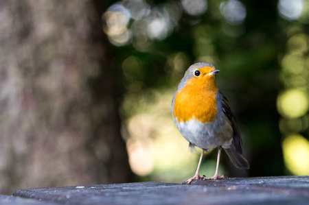 erithacus rubecula: European robin looking for crumbs on the table in the park in Ljubljana Stock Photo