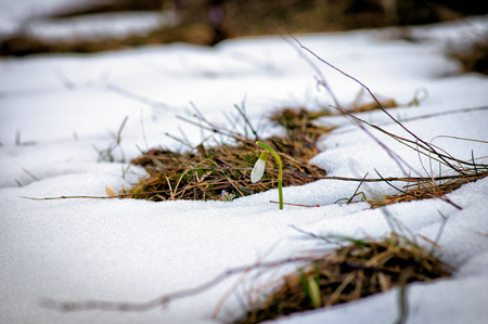 The first spring snowdrop. White spring flowers on snow. Symbol of spring.