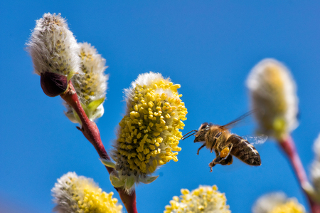 A close-up of a bee collects nectar on a catkin of a willow Stock Photo