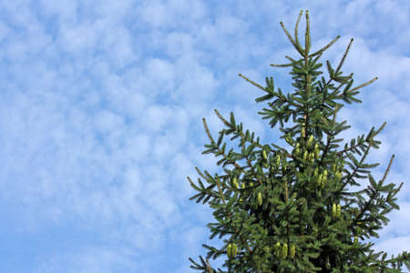 sunshines: Spruce with cones on blue sky
