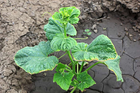 lesions: Cucumber leaves with yellowed edges due to lesions of the disease Stock Photo