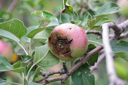diseased: The fruit of the apple diseased. Color photo close up