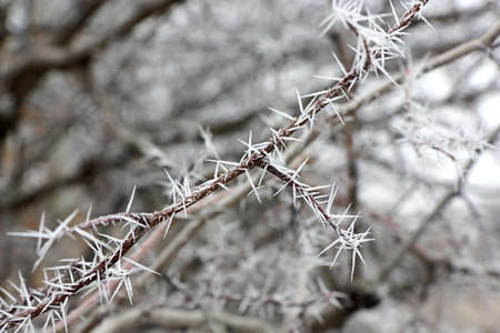 spinous: Spinous frost on the branch. Image close-up