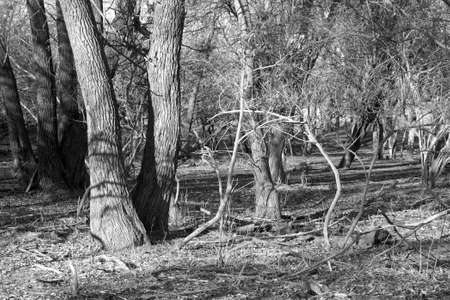 woodland  horror: Dry trees in the autumn forest. Black and white photo.