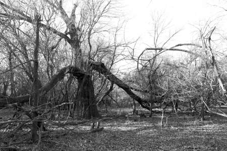 Dry trees in the autumn forest. Black and white photo.