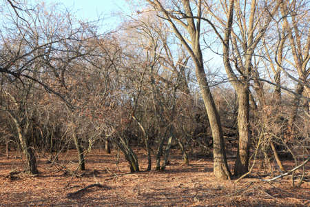 Dry trees in the autumn forest. Color photo.